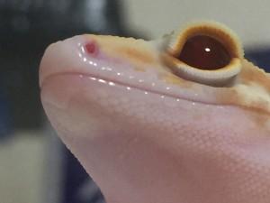 レオパの顔