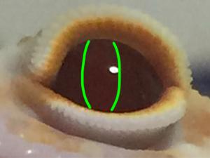 レオパの虹彩と瞳孔