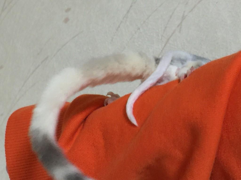 フクロモモンガのしっぽ