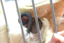 フクロモモンガのベビーの尻尾