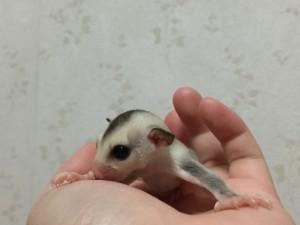 フクロモモンガ プラチナモザイク