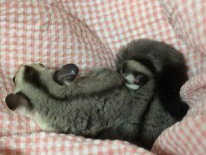 フクモモ双子