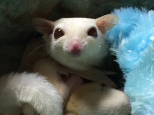 Ruby Leu Sugar Glider
