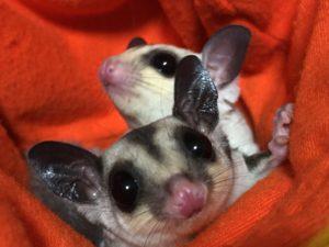 双子のフクロモモンガ