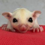 ホワイトモザイク フクロモモンガ